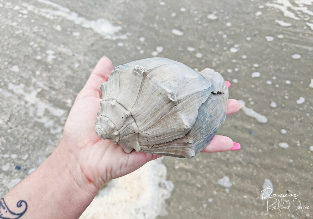 conch shell found in North Myrtle Beach